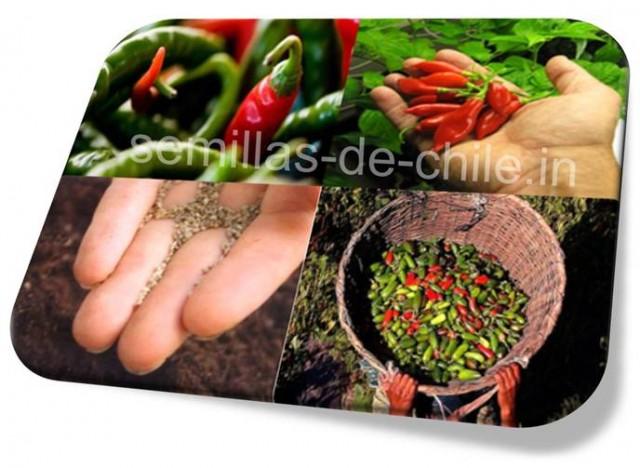 la semilla de chile importancia en la agricultura